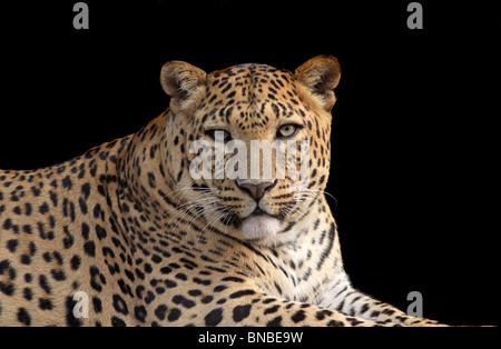 Leopard portrait shot. Picture taken in New Delhi Zoo, India - Stock Photo