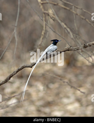 An Asian Paradise Flycatcher perched in a branch in Ranthambhore National Park, India - Stock Photo
