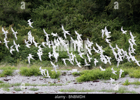 Flock Of Sandwich Terns Sterna sandvicensis On Anglesey, Wales, UK - Stock Photo