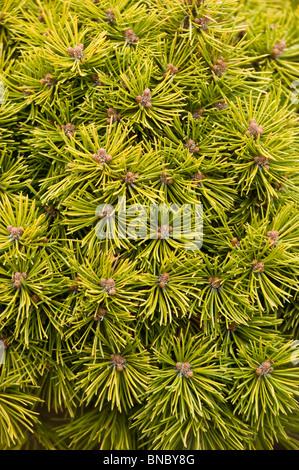 Pinus Mugo var Mops, Close up, Swiss Mountain Pine, Mugo Pine , Pinaceae,  sosna gorska, - Stock Photo
