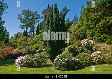 Rhododendrons Benmore Botanic Gardens nr Dunoon Argyll & BUte Scotland - Stock Photo