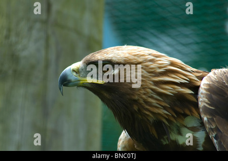 Harris Hawk Birds Of Prey Centre Newent Gloucestershire England