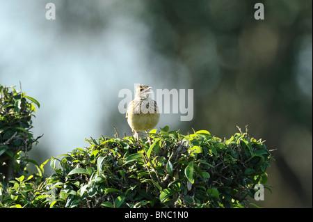Rufous-naped Lark, Mirafra africana, singing from bush, Masai Mara National Reserve, Kenya - Stock Photo