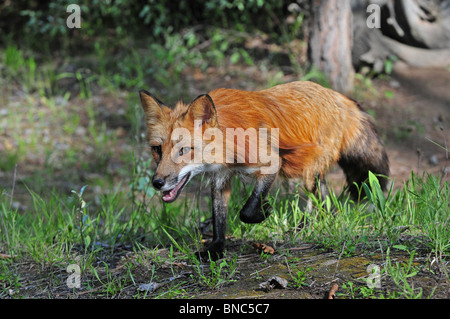 Red Fox running through a forest - Stock Photo