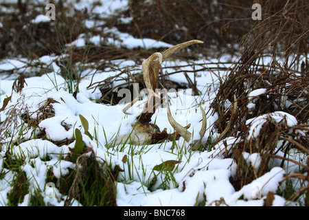 Whitetail buck deer skull found in snow - Stock Photo