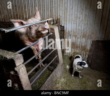 Pig with Dog in farmhouse, Iceland - Stock Photo