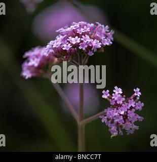 Verbena bonariensis - Stock Photo