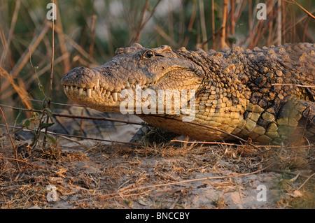 Nile Crocodile (Crocodylus niloticus) at the Zambezi river ...
