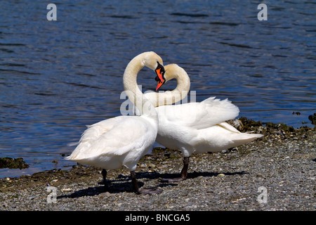 A pair of mute swans, Cygnus olor, courting in spring. Curving necks form a heart shape. - Stock Photo
