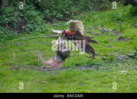 Pheasants  Phasianus colchicus fighting over territory and the females it contains - Stock Photo