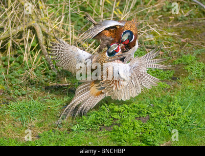 Pheasants Phasianus colchicus fighting over territory and the females it holds - Stock Photo