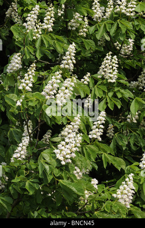 Horse Chestnut (aesculus hippocastanum) showing flower spikes, Norfolk, UK, May - Stock Photo