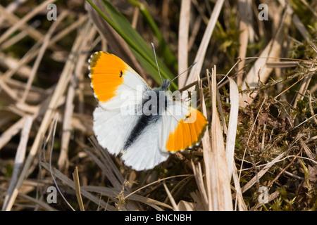 Orange-tip (male) - Stock Photo