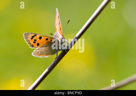 Small Copper - Lycaena phlaeas - Stock Photo
