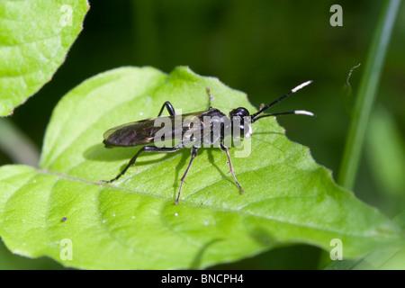 Sawfly - Tenthredo livida - Stock Photo