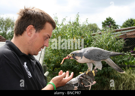 Captive Lanner Falcon Falco biarmicus Being Fed By Handler Taken in Cheshire, UK - Stock Photo