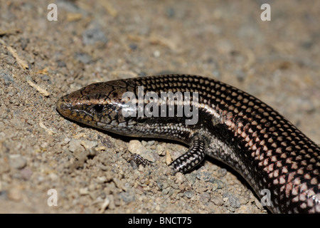 Gran Canaria Skink - Chalcides sexlineatus - Stock Photo