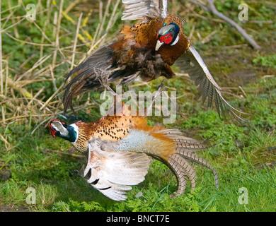 Pheasants Phasianus colchicus fighting over territory - Stock Photo