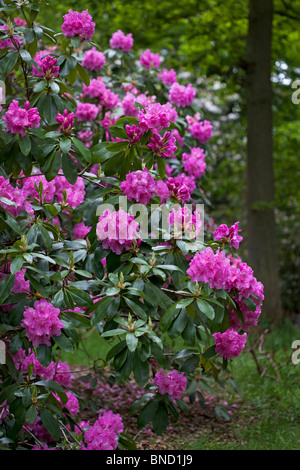 Rhododendron 'pink pearl' photographed in May in North Yorkshire - Stock Photo