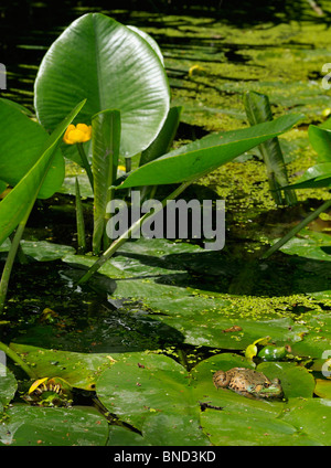 Green frog floating on a yellow flowered pond lily leaf in summer Toronto