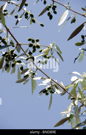 Olive branch silhotted against a blue sky - Stock Photo