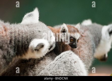 Baby Lemur with mum and dad - Stock Photo