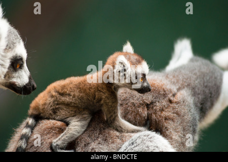 Baby ring tailed Lemur on mother's back - Stock Photo