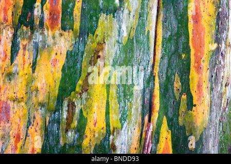 Vivid colours on the bark of a Eucalyptus tree, Barrington Tops, Australia - Stock Photo