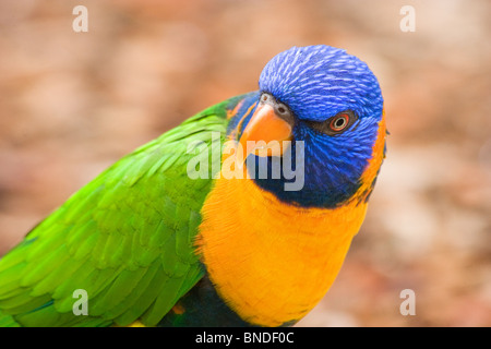Red-collared Lorikeet (Trichoglossus rubritorquis), Australia - Stock Photo