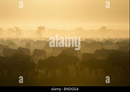 Wildebeest Migration, Serengeti Ecosystem, Tanzania - Stock Photo