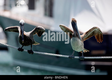 The Brown Pelican pair dry on Rope - Stock Photo