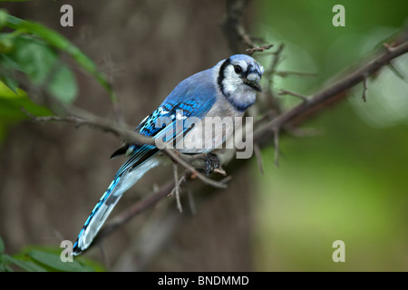 Blue Jay young bird perched on branch in central park in the early morning - Stock Photo