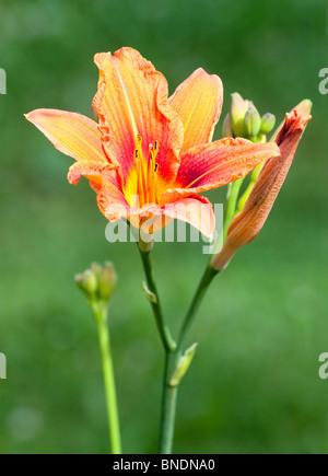 Close-up of beautiful orange hemerocallis flower - Stock Photo