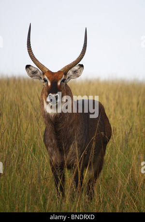 Defassa Waterbuck, Masai Mara Game Reserve, Kenya - Stock Photo