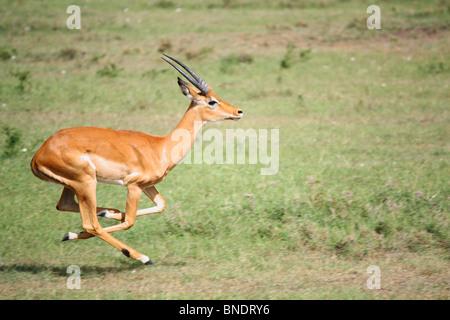 Impala Running, Masai Mara Game Reserve, Kenya - Stock Photo
