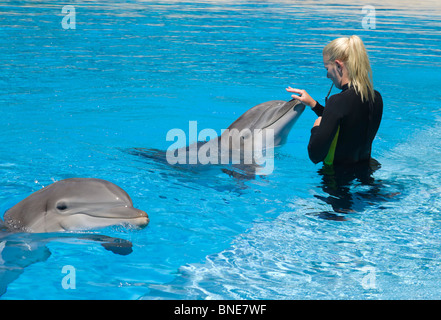 Girl zookeeper swimming with dolphins at the Mirage, an MGM resort hotel on the Las Vegas strip - Stock Photo