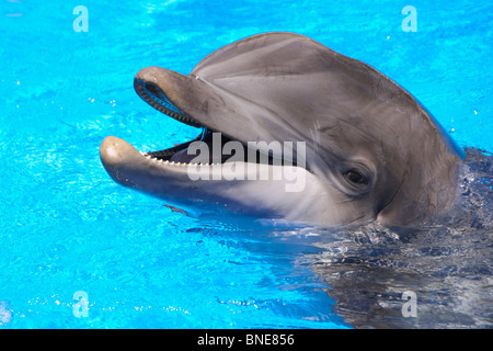 Dolphins at The Mirage, an MGM resort hotel on the Las Vegas strip renamed to be MGM Resorts International in June - Stock Photo
