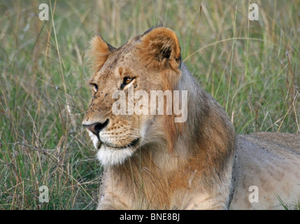 A young male Lion portrait shot. Picture taken in Masai Mara National Reserve, Kenya, East Africa. - Stock Photo