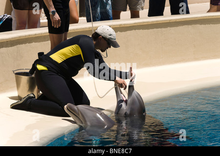 Feeding dolphins with vitamin, oil and fluid supplements by tube. The Mirage, an MGM resort hotel on the Las Vegas - Stock Photo