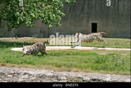 A Male white tiger jumping on a female white tiger in Chattbir Zoo, Chandigarh, India - Stock Photo