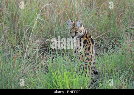 A Serval looking for prey in the grasslands of Masai Mara National Reserve, Kenya, East Africa - Stock Photo