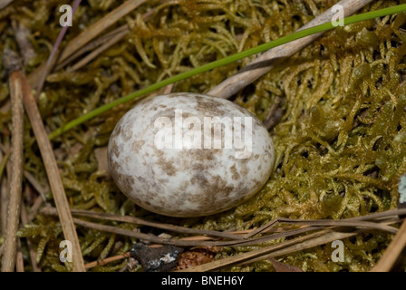 Nightjar egg (Caprimulgus europaeus) - Stock Photo