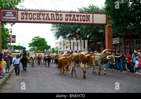 Cowboys herding Longhorns from Stockyards to Streets of Fort Worth In North Texas - Stock Photo