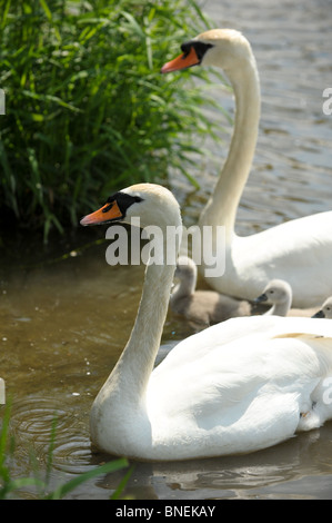 A pair of mute swans with their cygnets on a river near a grass bank in the summer sun - Stock Photo