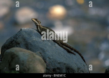 An adult female Common Basilisk (Basiliscus basiliscus) resting on a streamside boulder in Costa Rica. - Stock Photo
