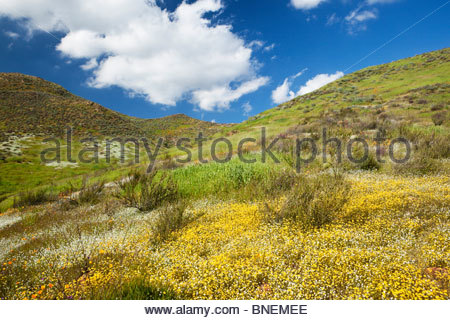 Spring Wildflowers Blooming in the Hills of Lake Elsinore, California - Stock Photo
