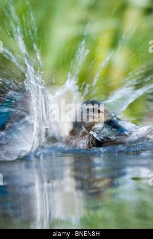 Female mallard Duck Anas platyrhynchos - Stock Photo