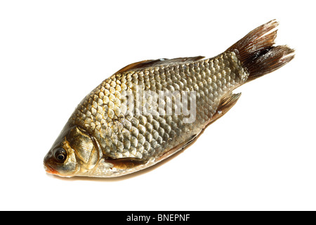 Freshwater fish in front of white background. - Stock Photo