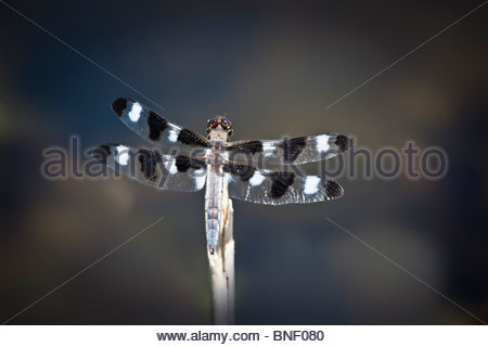 The white wing spots on this Twelve-spotted Skimmer dragonfly identify it as a male in Rouge Park in Toronto Ontario - Stock Photo