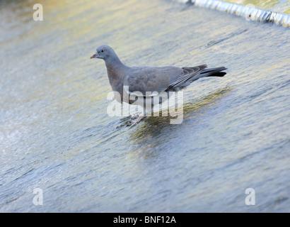 Pigeon in a fountain, Kew Gardens, Surrey, UK - Stock Photo